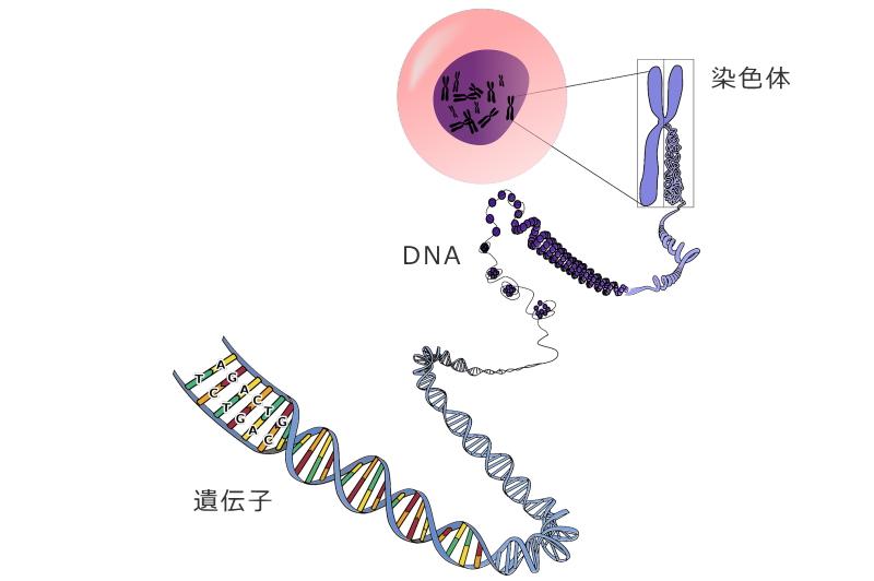 遺伝子の構成